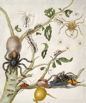 Pen and ink with watercolor and bodycolor on vellum by Maria Sibylla Merian, circa 1704. This image is the basis of Plate 38 in Metamorphosis [1] , and includes the Cecilia metalmark butterfly ( Methone cecilia ), the giant sphinx moth ( Cocytius antaeus ) and the bellyache bush ( Jatropha gossypifolia ). The larval and pupal stages of each insect are also shown. From British Museum