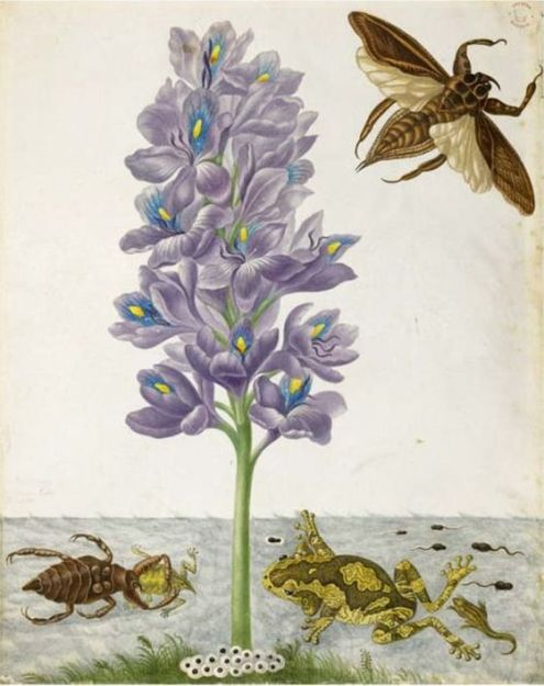 Pen and ink with watercolor and bodycolor on vellum by Maria Sibylla Merian, circa 1704. This image is the basis of Plate 56 in Metamorphosis [1] and depicts a marbled treefrog ( Trachycephalus venulosus ) adult with eggs, tadpoles and metamorphosing froglets. Also shown are a giant waterbug nymph and adult ( Lethocerus sp.), and a water hyacinth ( Eichhornia crassipes )