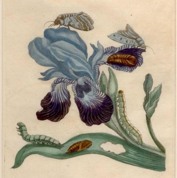 Maria Sibylla Merian, The Blue Iris