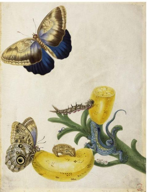 Pen and ink with watercolor and bodycolor on vellum by Maria Sibylla Merian, circa 1704. This image is the basis of Plate 23 in Metamorphosis [1] and shows the rainbow whiptail lizard ( Cnemidophorus lemniscatus ) with eggs and a hatchling. Also included are the Teucer giant owl butterfly ( Caligo teucer ) with larvae and pupae and the fruit and stem of a banana tree ( Musa paradisiaca