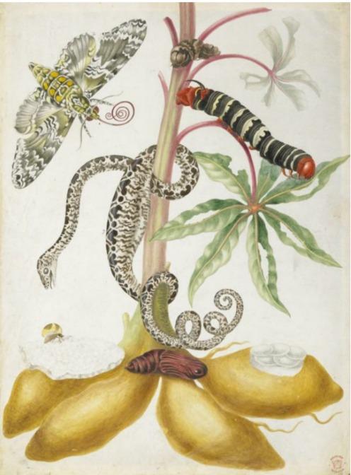 Boa with cassava plant and moth ( circa 1704) Maria Sibylla Merian