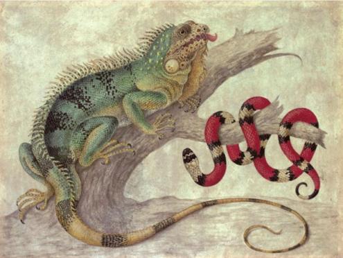 Maria Sibylla Merian (Frankfurt 1647-1717 Amsterdam) , Iguana and a Coral snake