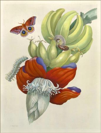 Maria Sibylla Merian - Banana Hand-colored etching