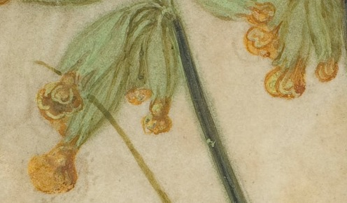 Albrecht Dürer (1471-1528), Tuft of Cowslips or Primula (1526), gouache on vellum, w16.8 x h19.3 cm (overall), National Gallery of Art, Washington, DC, The Armand Hammer Collection, Image source: Wikimedia Commons in public domain.(detail).