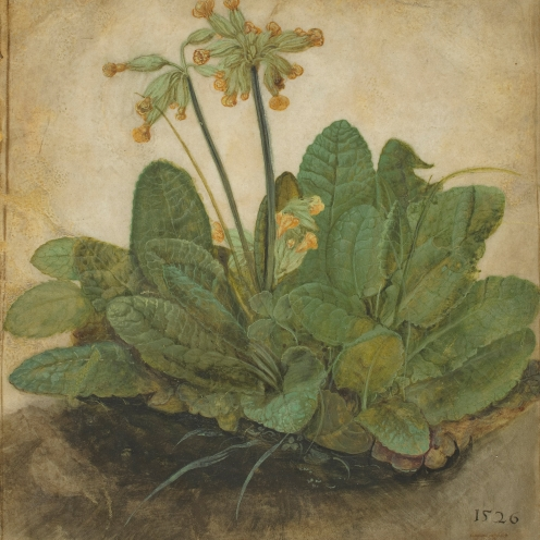 Albrecht Dürer (1471-1528), Tuft of Cowslips or Primula (1526), gouache on vellum, w16.8 x h19.3 cm (overall), National Gallery of Art, Washington, DC, The Armand Hammer Collection, Image source: Wikimedia Commons in public domain.
